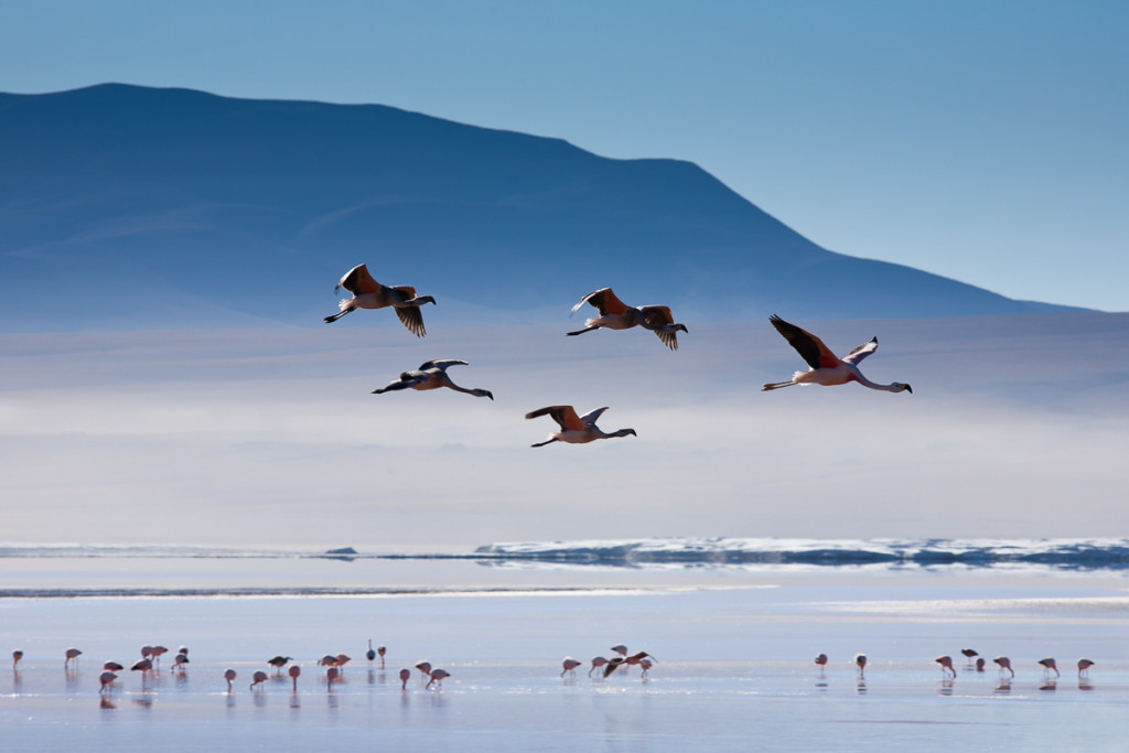 Andean flamingos take flight above the high-altitude Laguna Colorada in the Sud Lipez region of Bolivia, averaging 14,000 ft above sea level.