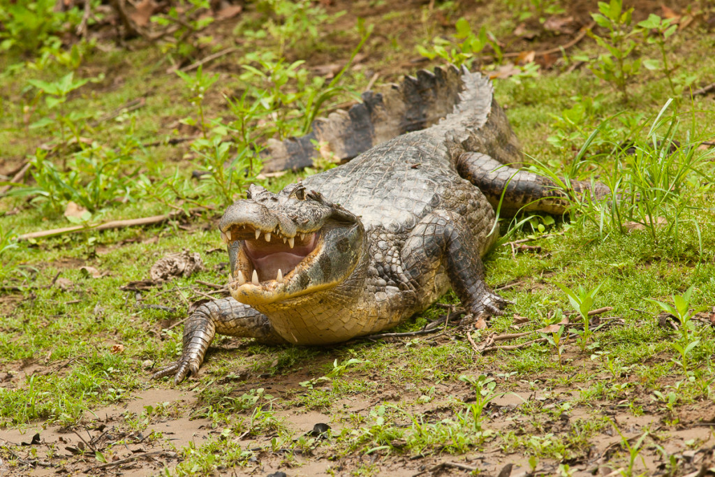 The Spectacled Caiman (Caiman crocodilus) lies in wait for food
