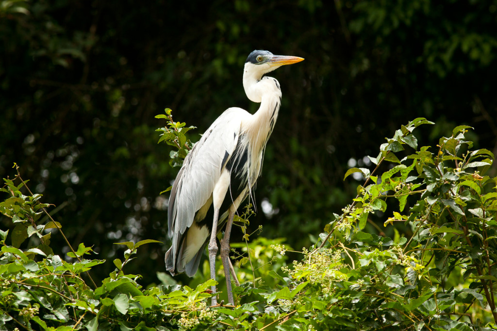 A Cocoi Heron (Ardea cocoi) or White-necked heron lives in tropi