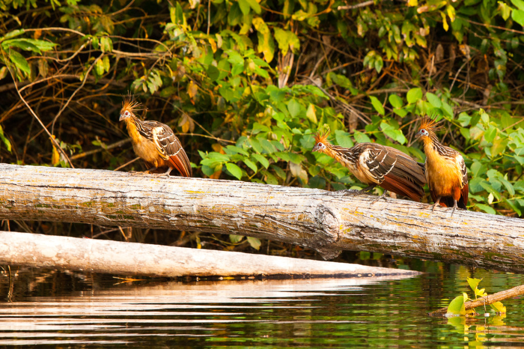 Hoatzin birds (Opisthocomus hoazin) perch on a log at Chalalan L