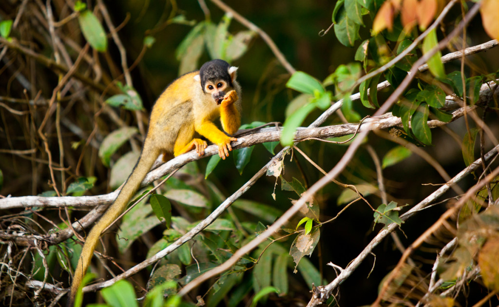 Squirrel monkeys (Saimiri boliviensis boliviensis) climb and eat