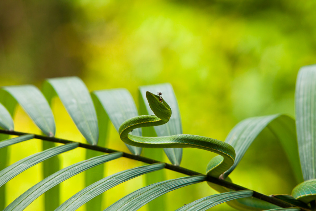 A leaf-nosed vine snake perches in a palm at Chalalan Lodge in M