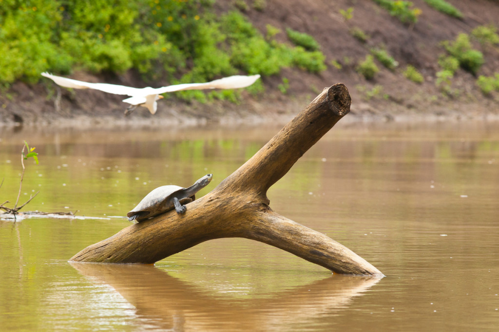 The yellow-spotted river turtle sunbathes on logs on the Yacumo