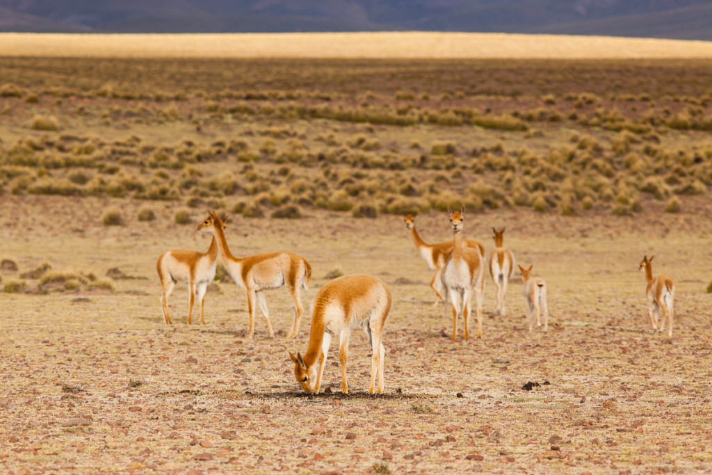A herd of wild Vicunas (Vicugna Vicugna) cautiously sniff a pile