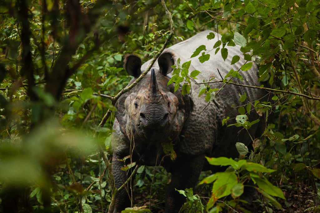 An Indian rhinoceros (Rhinoceros unicornis) peers through the heavy foliage as he stands his ground in Chitwan National Park, Nepal.
